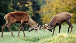 combattimento dei cervi